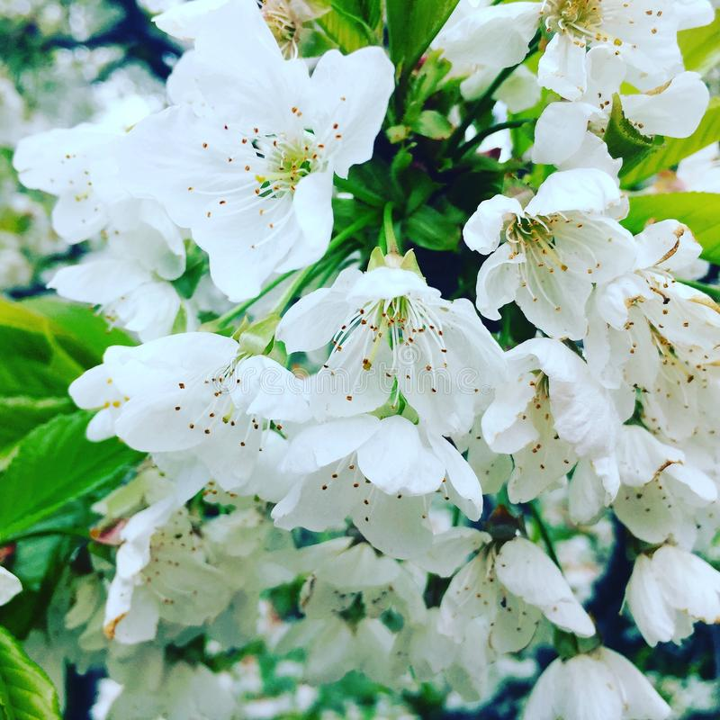Fleurs de temps de cerisier au printemps photo libre de droits