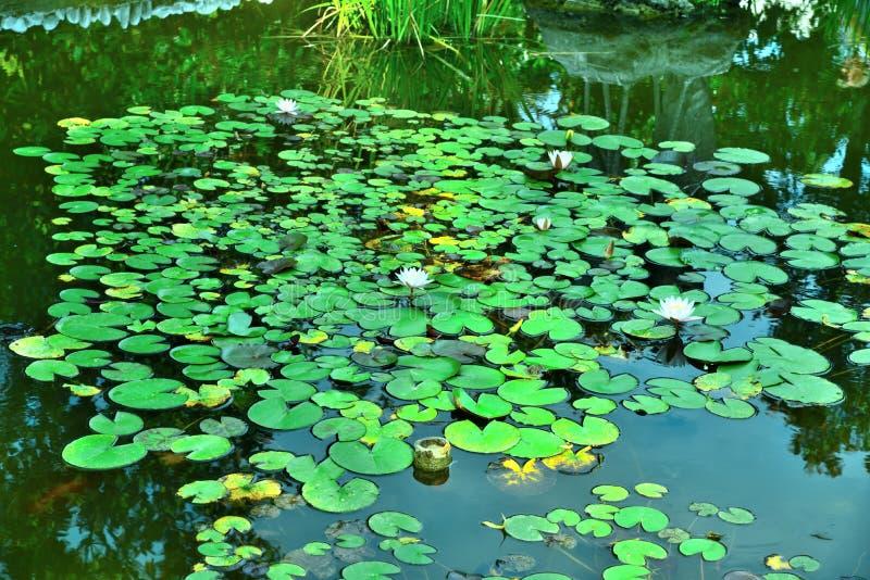 Fleurs de tetragona de Nymphaea dans l'étang photographie stock