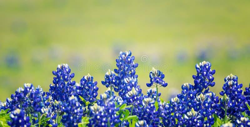 Fleurs de Texas Bluebonnet fleurissant au printemps photographie stock
