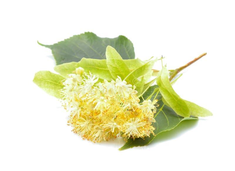 Fleurs de tilleul (également connu sous le nom de chaux et basswood) photo libre de droits