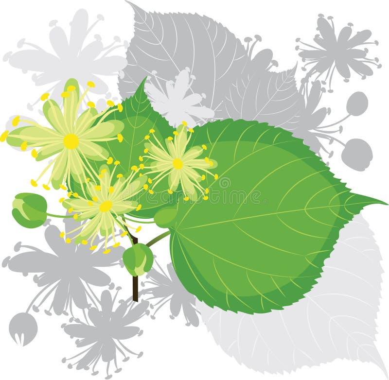 Fleurs de tilleul avec le feuillage illustration de vecteur