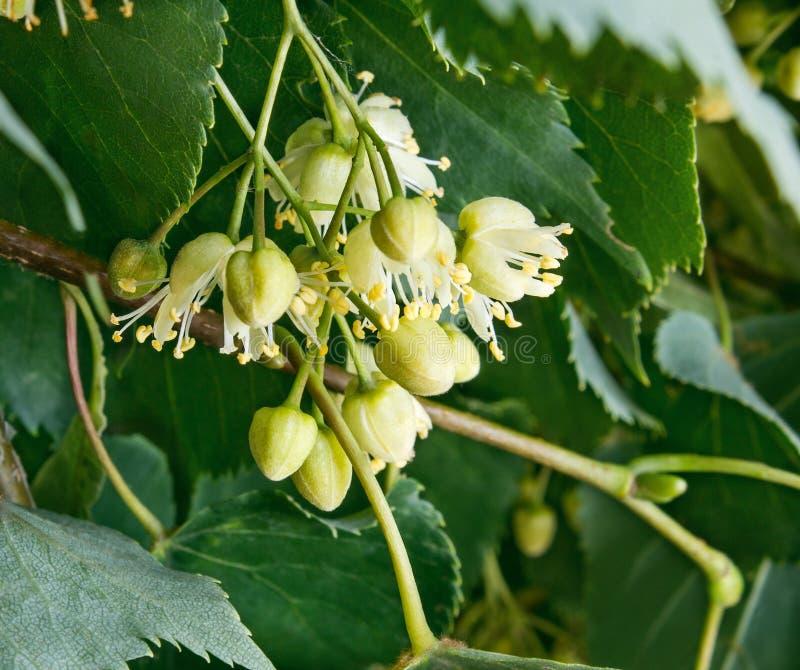 Fleurs de tilleul contre les feuilles vertes photo libre de droits
