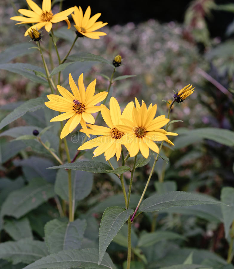 Fleurs de topinambur image libre de droits