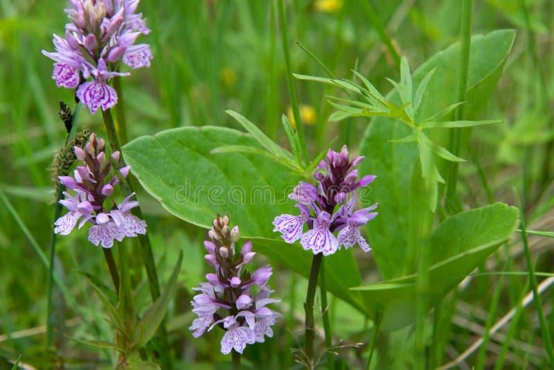 Fleurs de toundra dans l'herbe verte photographie stock libre de droits