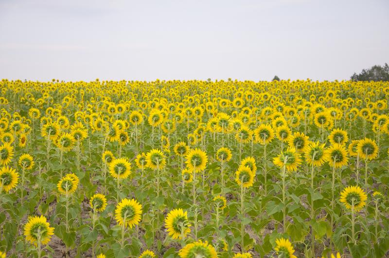Fleurs de tournesol photo stock