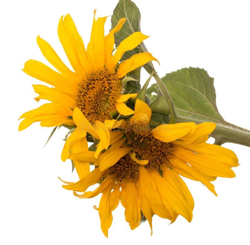 Fleurs de tournesol sur un fond blanc photo stock