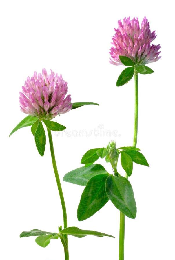 Fleurs de trèfle d'isolement image stock