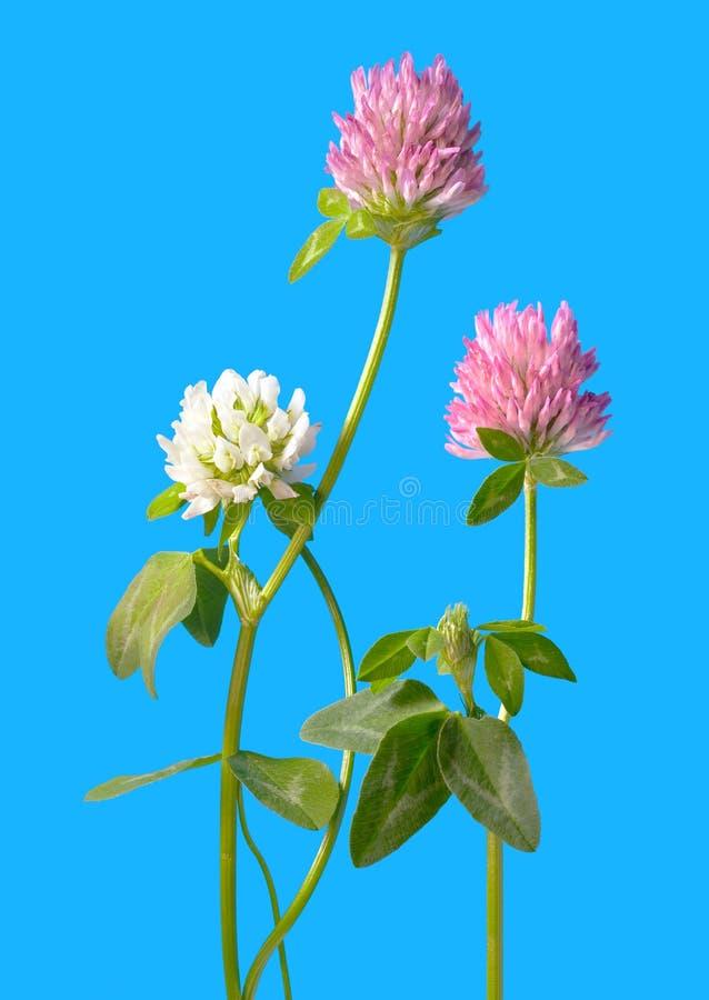 Fleurs de trèfle d'isolement sur le bleu image libre de droits