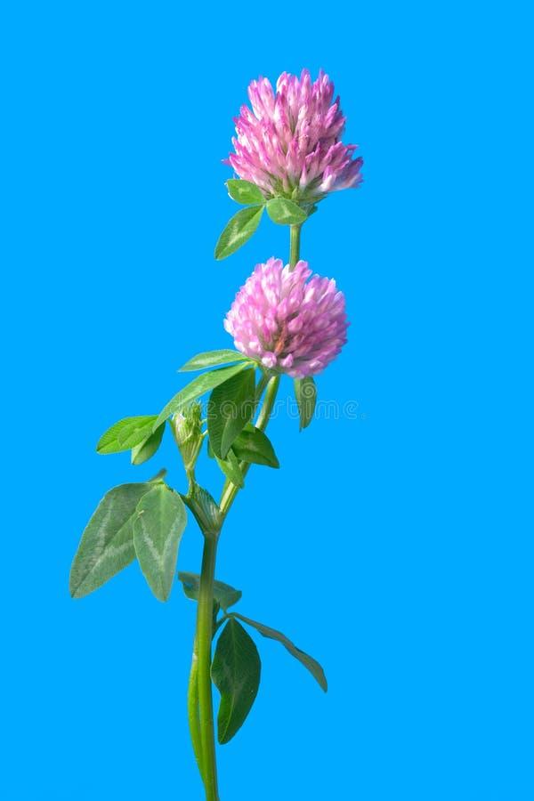 Fleurs de trèfle d'isolement sur le bleu images libres de droits