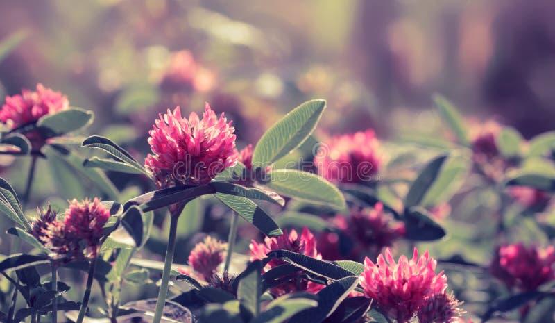 Fleurs de trèfle sur le champ Image modifiée la tonalité pourpre images libres de droits