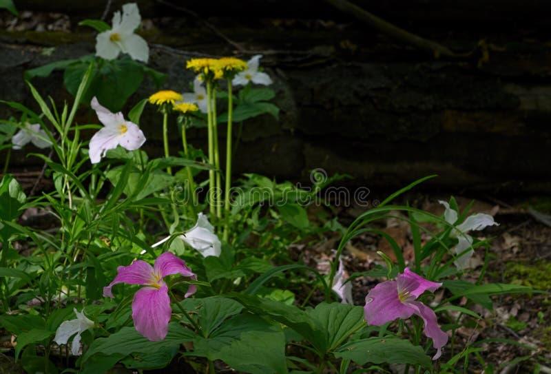 Fleurs de Trillium et de pissenlit photos stock