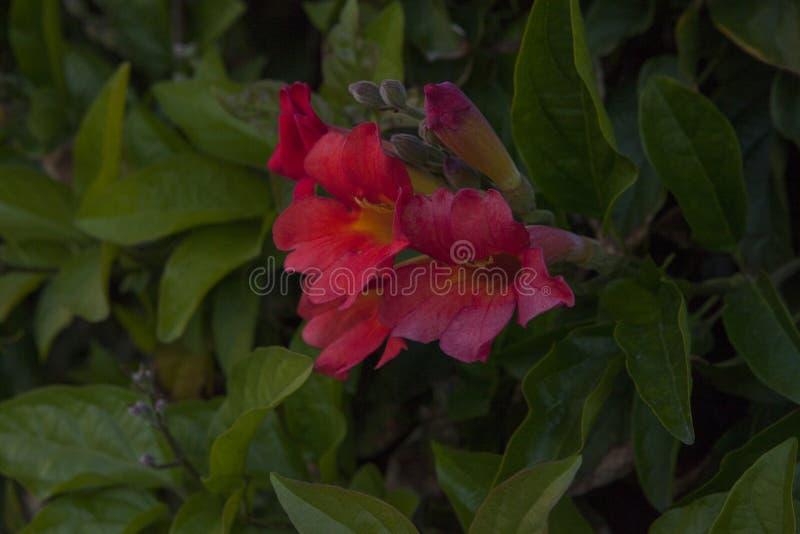 Fleurs de trompette rouges avec les feuilles vertes image stock