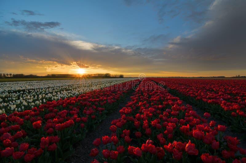 Fleurs de tulipe aux Pays-Bas images libres de droits