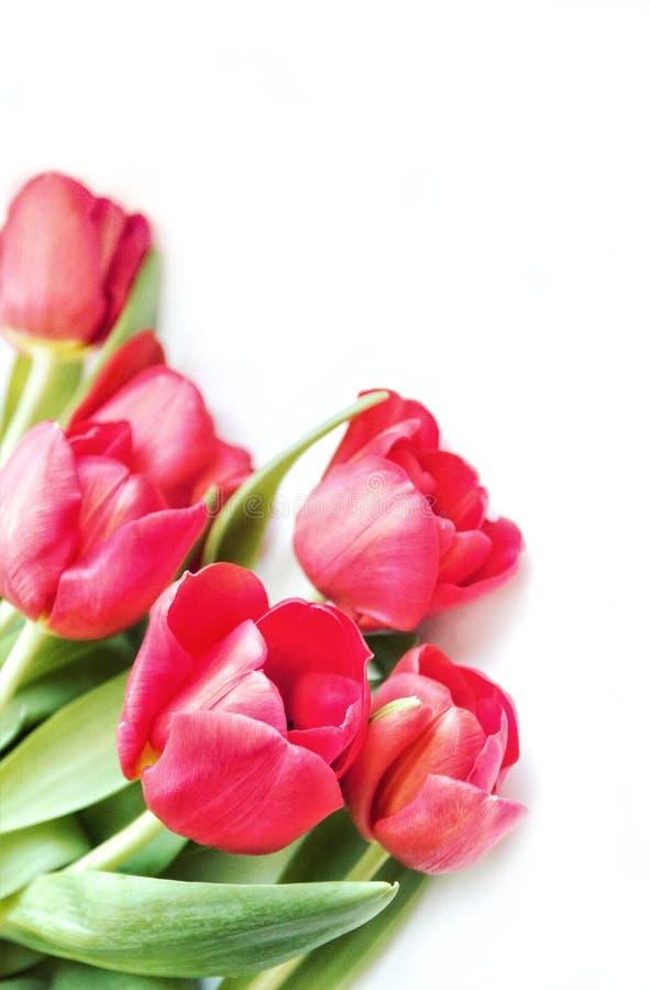 Fleurs de tulipe sur un fond clair, en gros plan image stock