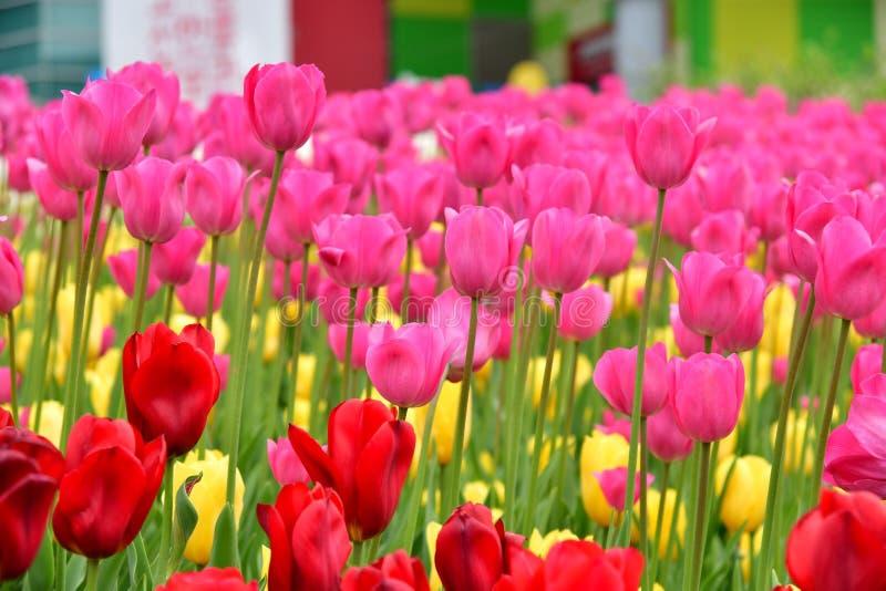 Fleurs de tulipes images libres de droits