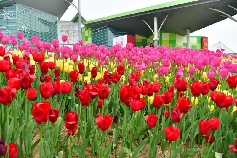 Fleurs de tulipes photo stock
