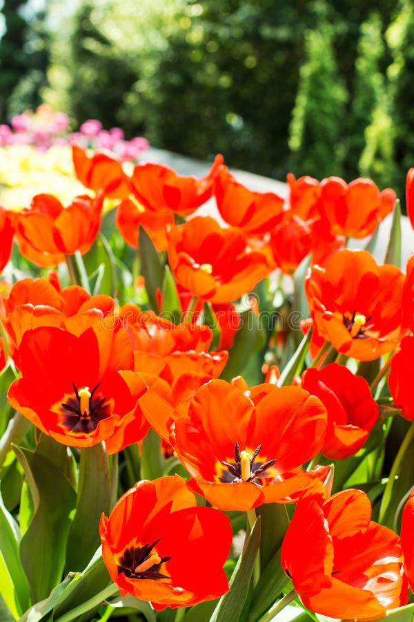 Fleurs de tulipes photos stock