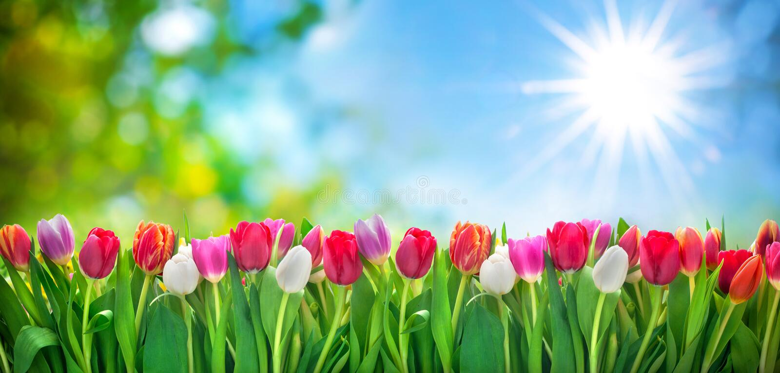 Fleurs de tulipes de ressort photo stock