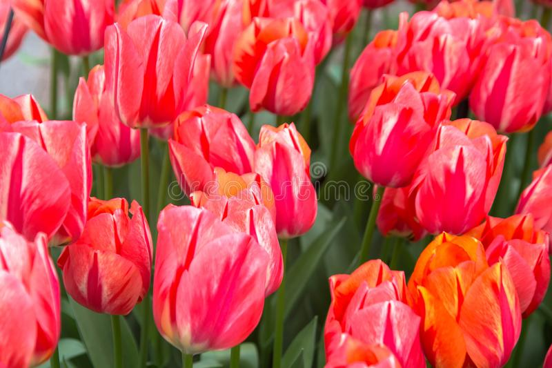 Fleurs de tulipes Fond floral de source image stock