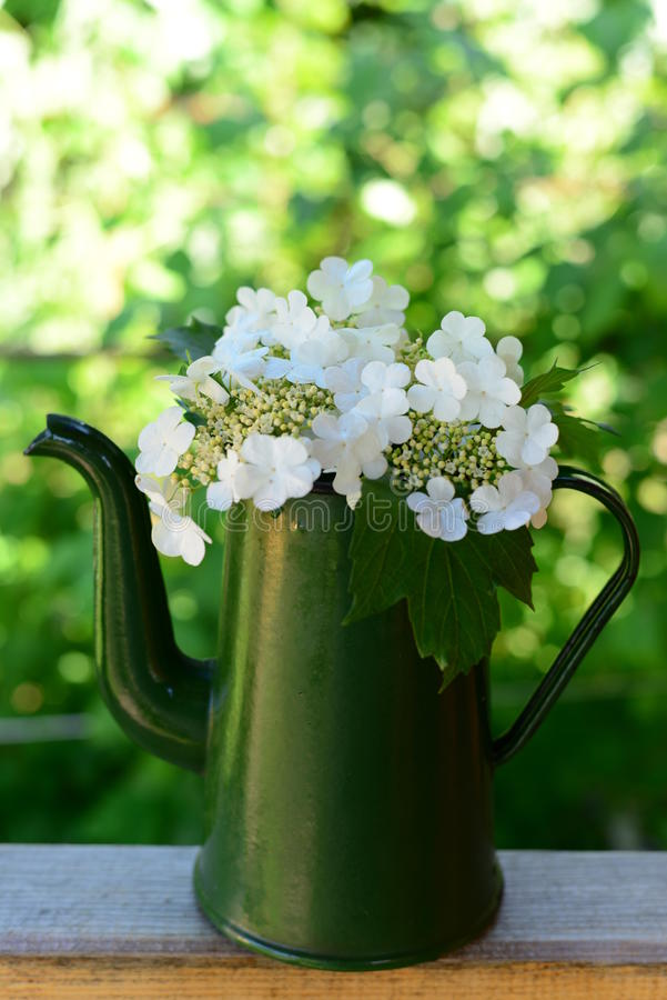 Fleurs de Viburnum photo stock