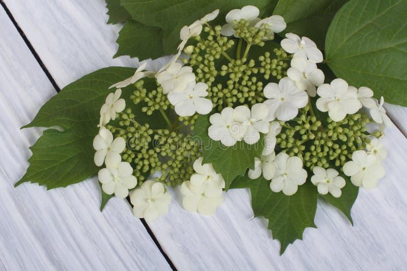 Fleurs de Viburnum de jeunes feuilles vertes photographie stock