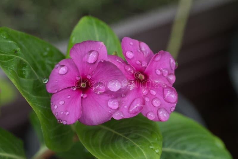 Fleurs de Vinca images libres de droits