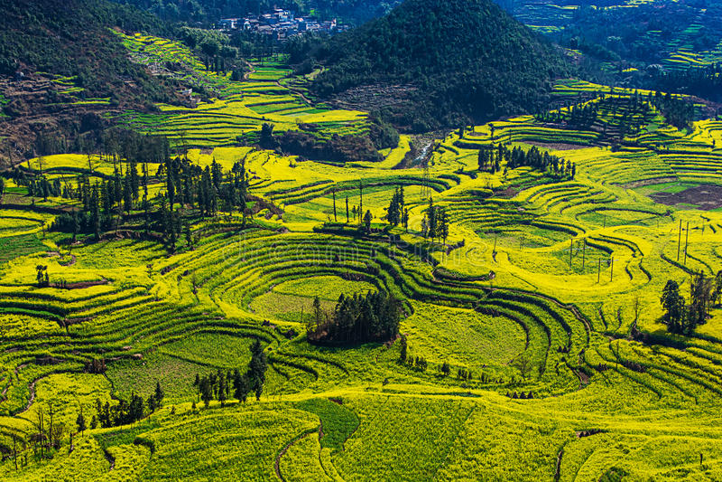 Fleurs de viol dans Yunnan, Chine image libre de droits