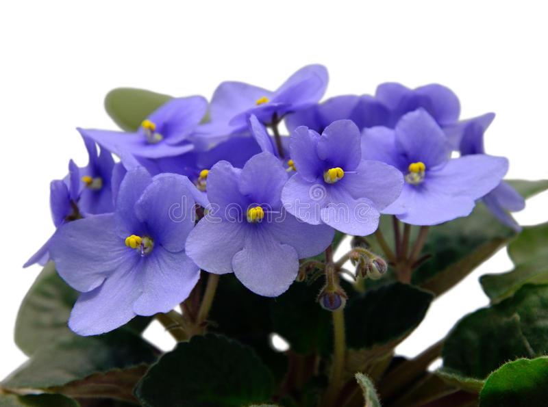 Fleurs de violette africaine de saintpaulia image stock for Violette africane
