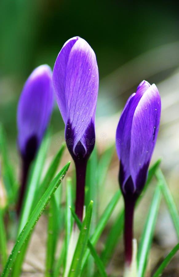 Fleurs de violette de printemps photographie stock