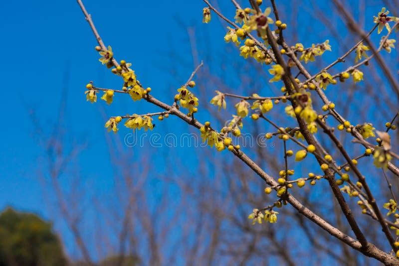 Fleurs de Wintersweet en ciel bleu images libres de droits