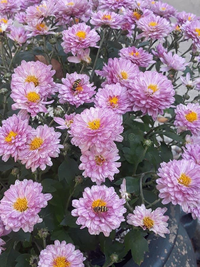 Fleurs de Zinnia images libres de droits