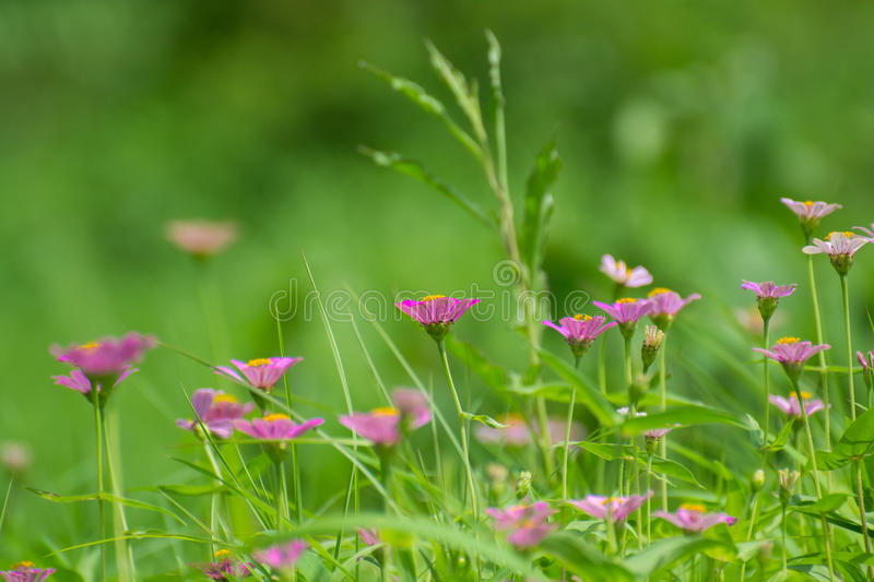 Fleurs de Zinnia image libre de droits