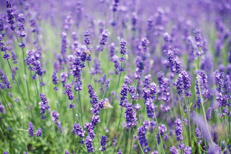 Fleurs des abeilles de lavande et de vol images libres de droits