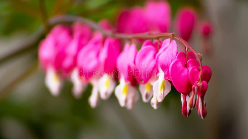 Fleurs des fleurs de défenseur de la veuve et de l'orphelin image stock