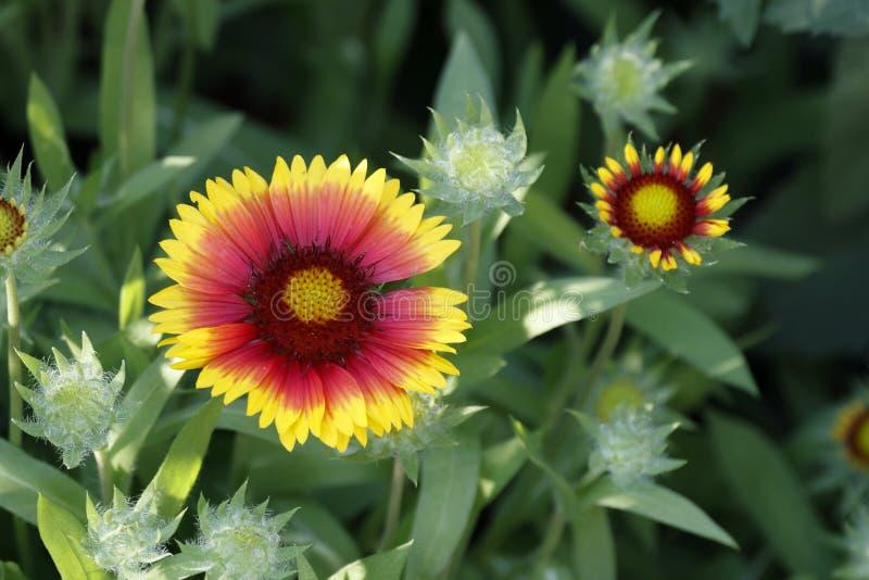 Fleurs des jolies couvertures, Gaillardia, en jaune et rouge photographie stock libre de droits