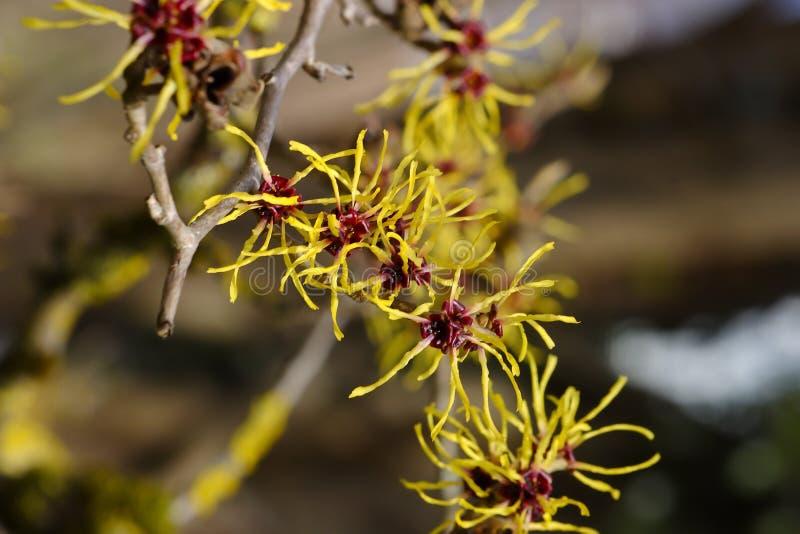 Fleurs des mollis chinois de Hazel Hamamelis de sorcière photos libres de droits