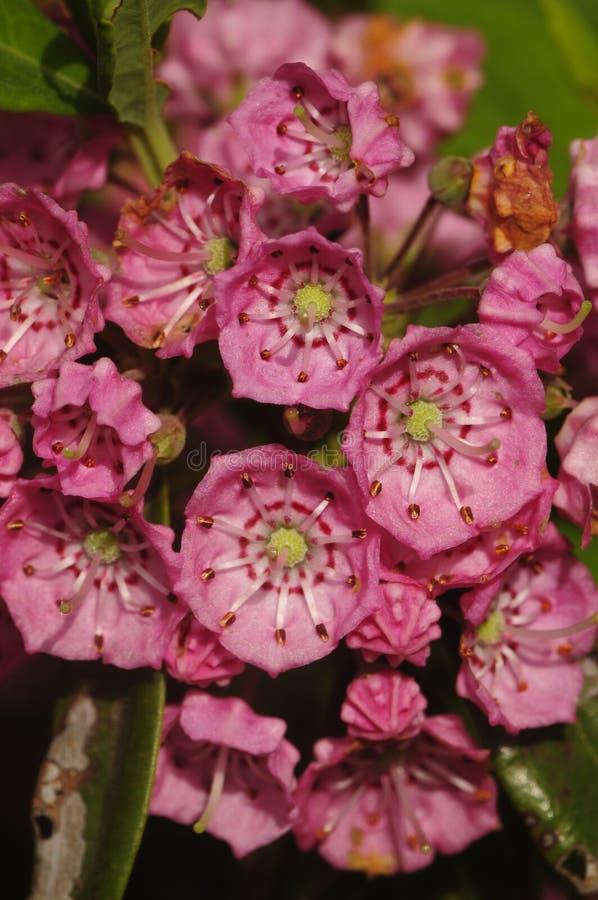 Fleurs des moutons Laurel Growing In The Adirondak Forest Pres photographie stock