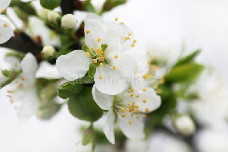 Fleurs des pommiers de floraison 4 images libres de droits