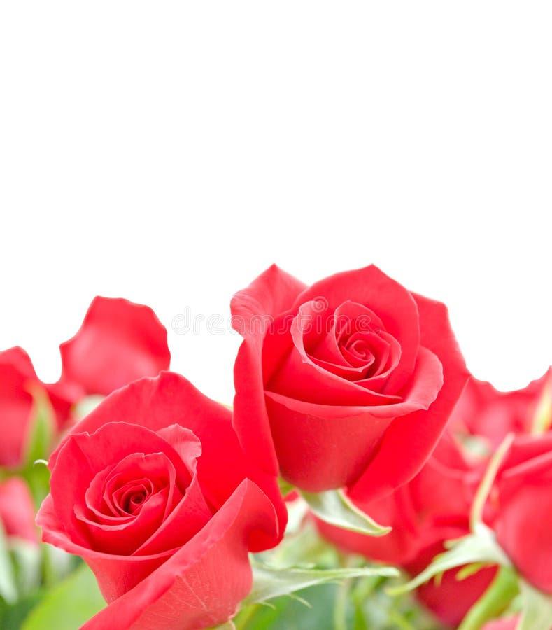 Fleurs des roses rouges sur le fond blanc images stock