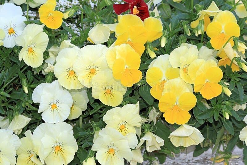 Fleurs doucement de floraison blanches et jaunes images stock