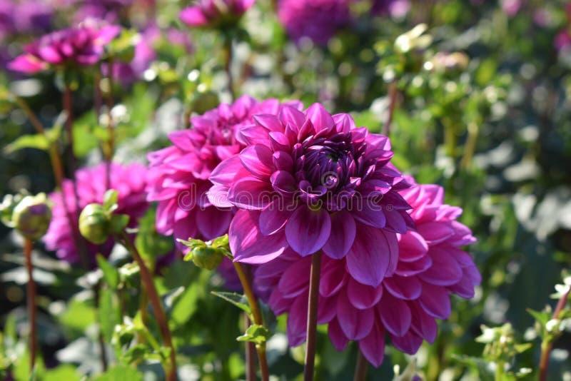 """Fleurs du choix de Ted de dahlia les """"dans le domaine images libres de droits"""