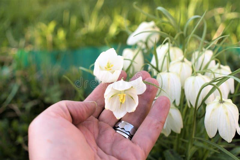 Fleurs du crocus blanc de ressort sur le plan rapproché humain de paume photo libre de droits