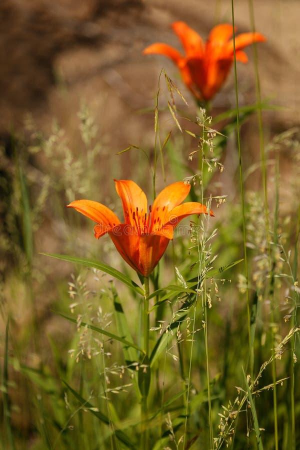 Fleurs du lis de Dahurian photographie stock