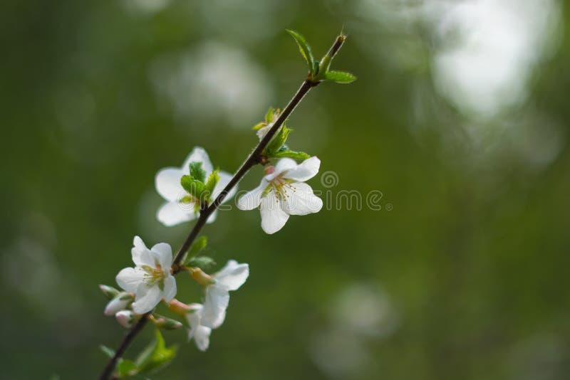 Fleurs du ` s de pommier photos libres de droits