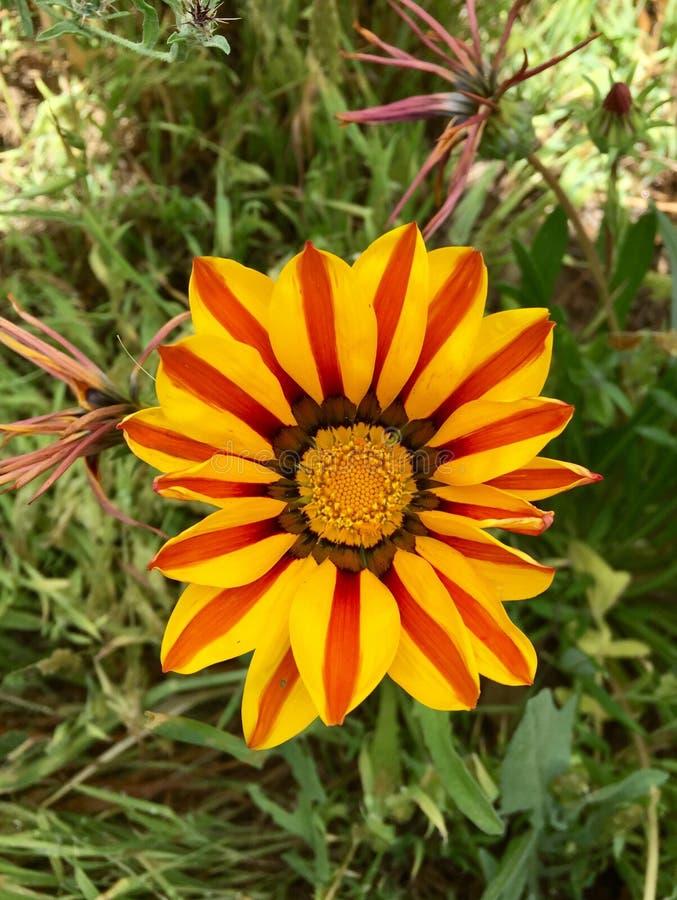 Fleurs du soleil la Californie images libres de droits