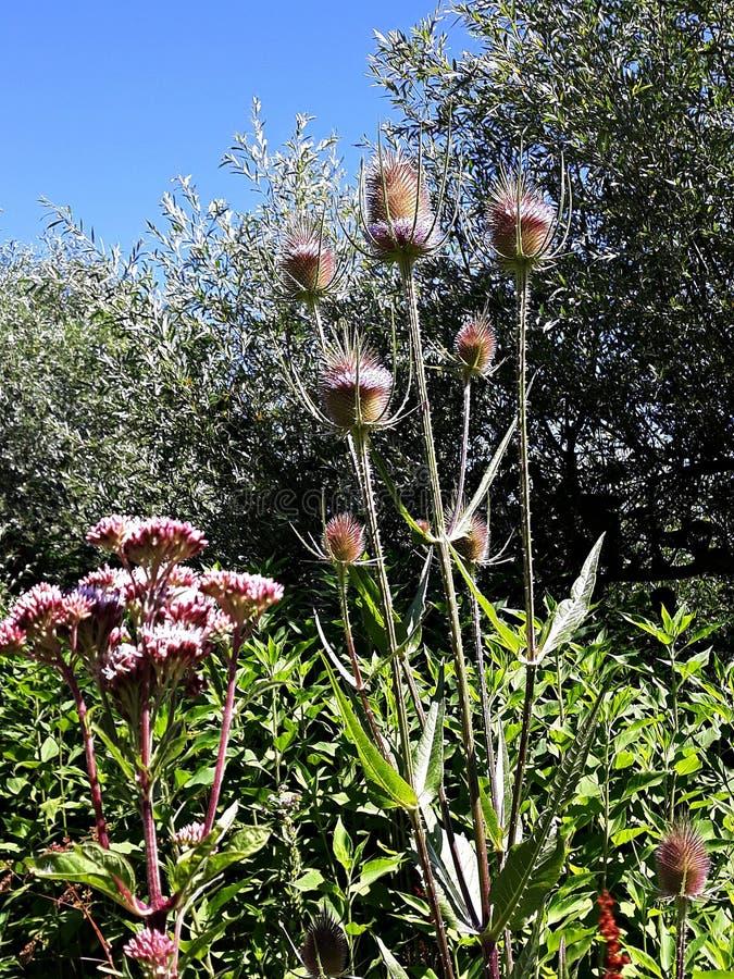 Fleurs en épi d'été de fullonum de Dipsacus de cardère sauvage image libre de droits