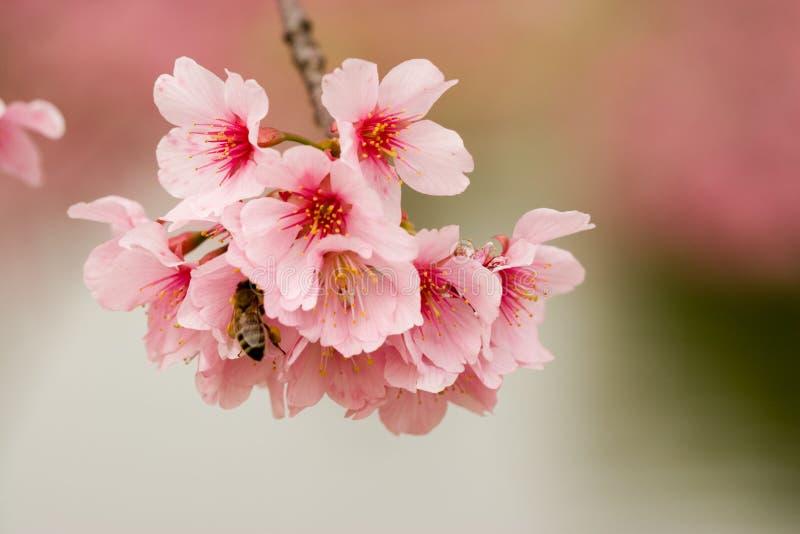 Fleurs et abeille de cerise photos libres de droits
