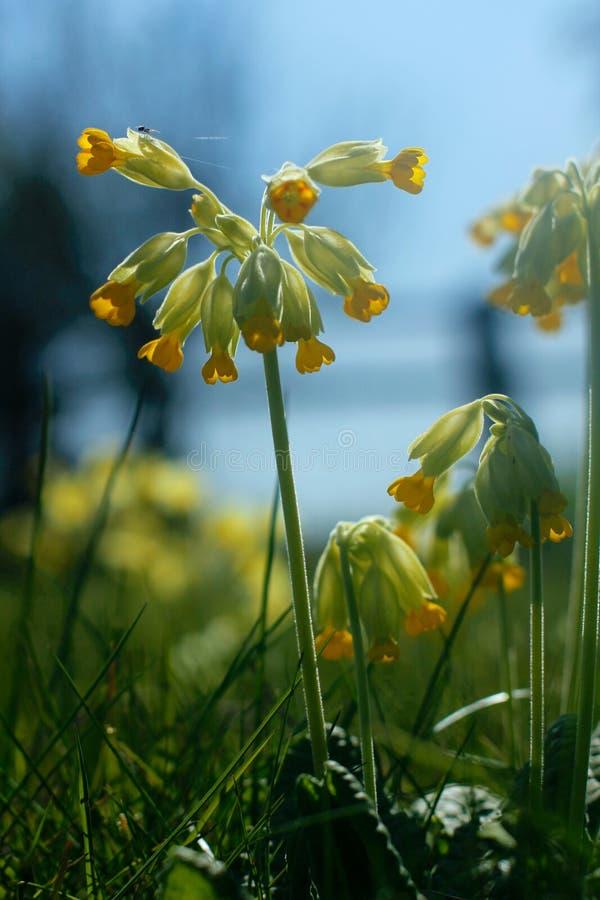 Fleurs et araignée de primevère au printemps photographie stock