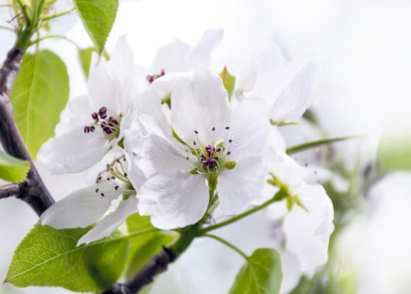 Fleurs et bourgeons d'un pommier dans le jardin sur Sunny Spring Day Concept de renouvellement de ressort photos libres de droits