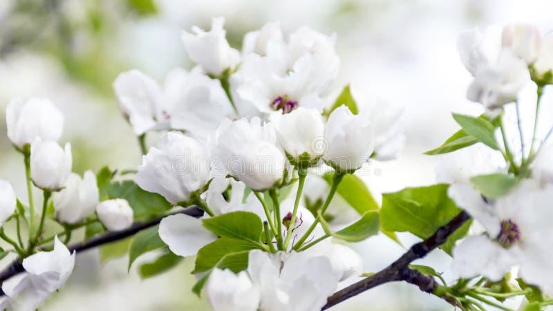 Fleurs et bourgeons d'un pommier dans le jardin sur Sunny Spring Day Concept de renouvellement de ressort image stock